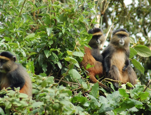 Golden Monkey Safari